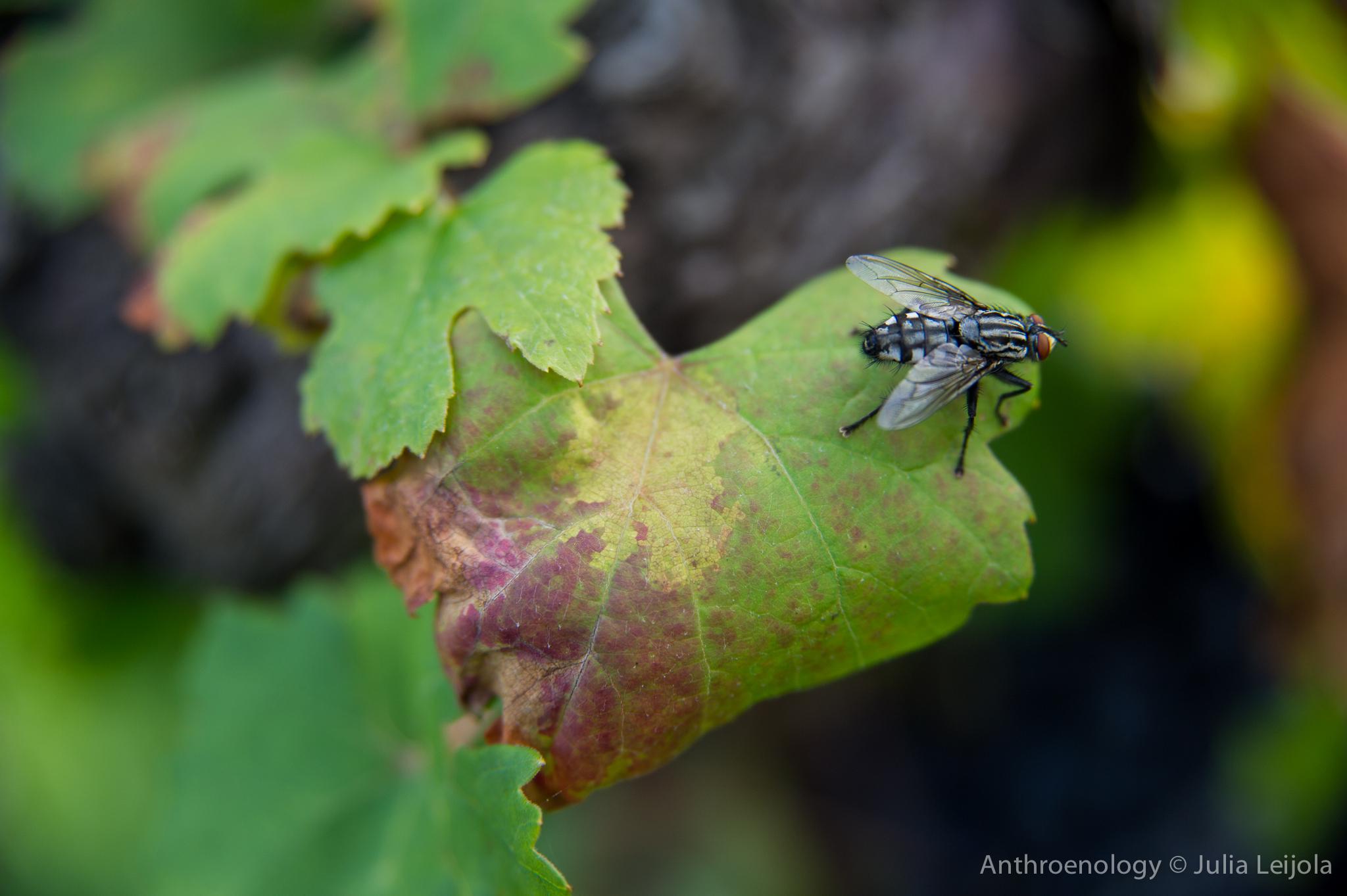 Fly on a grape leaf.