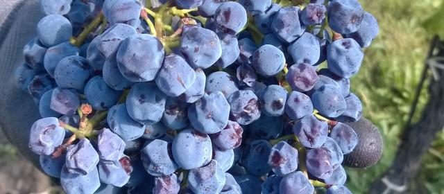 Reflections on fieldwork in a vineyard